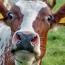 رئیس انجمن صنفی گاوداران: با این شرایط مجبوریم گاوهای شیری را بفروشیم/ هشدار درباره کمبود شیر در سال آینده