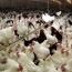 شرح حالی از «زماهان» ؛ مرغ تازه واردی که پرش ١۶٠ درصدی را در چند گام ثبت کرد